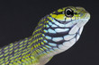 Dagger-tooth tree snake / Rhamnophis aethiopissa