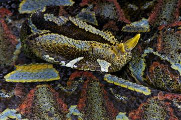 River jack / Bitis nasicornis