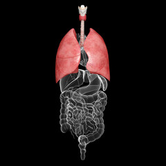 all organs x-ray of human body with highlighted lungs