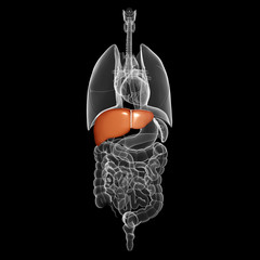 all organs x-ray of human body with highlighted liver