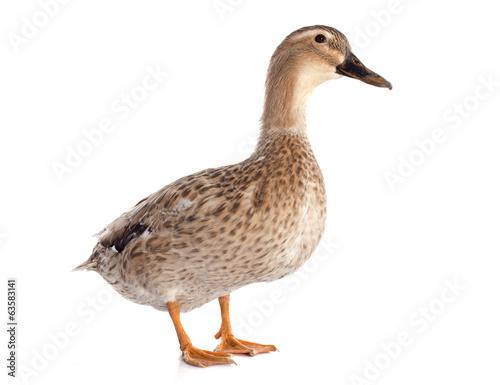 Papiers peints Oiseau female duck