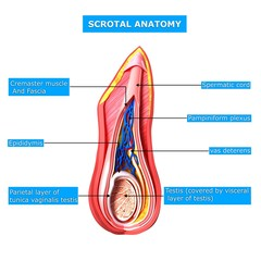 Anatomy of scrotal layer with names