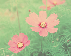 Pink blossom flowers with retro filter effect