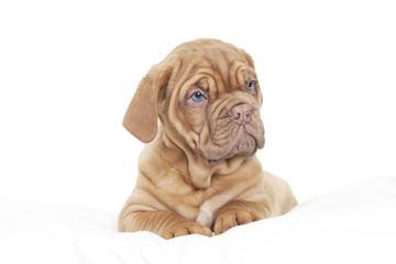 Dogue de Bordeaux Puppy (French mastiff)
