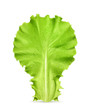 Fresh green leaf lettuce, vector illustration