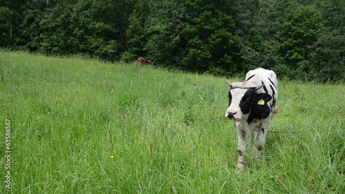 bull animals graze in pasture surround by horseflies insects