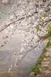 川面と満開の桜