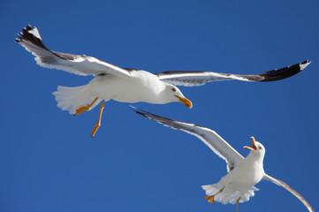 Gaviotas peleando por un trozo de pan