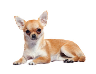 Chihuahua lying on white background
