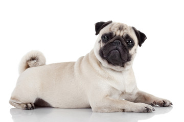 Pug sitting against white background