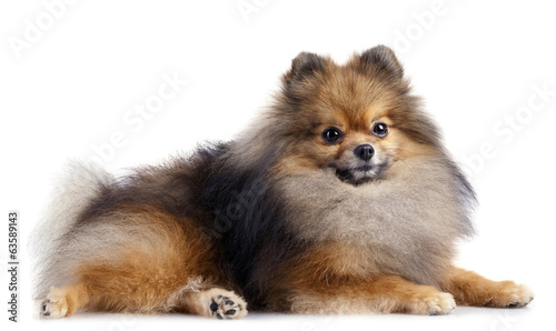 Pomeranian (spitz) dog lying on black background
