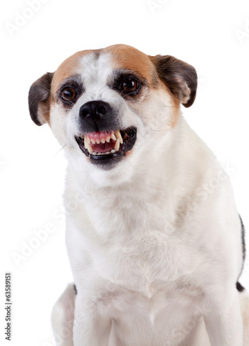 Angry dog on white background