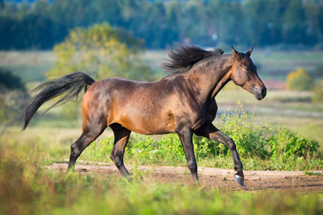 Arabian horse gallops across the field