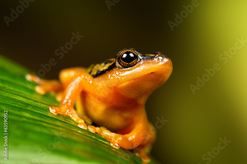 Golden Sedge Frog