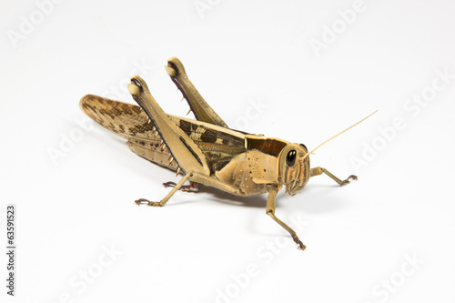 Right Side View of Grasshopper on White
