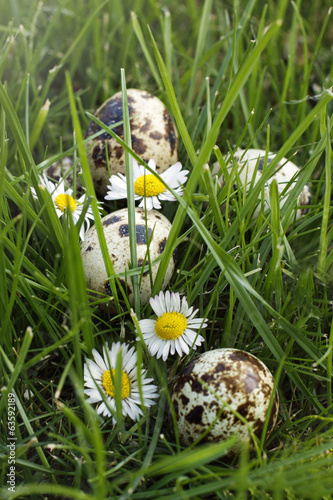 Partridge eggs lying  on the grass