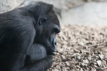 gorila 11