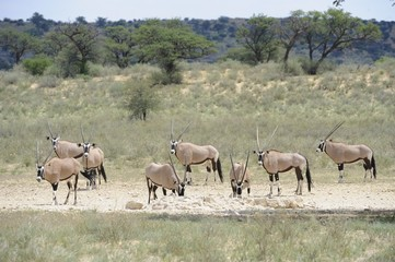 Gemsbok (Oryx gazella) herd at waterhole, Kalahari desert