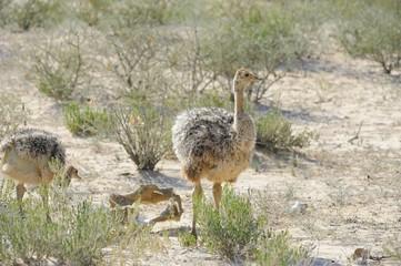 Ostrich (Struthio camelus) chicks foraging, Kalahari desert.
