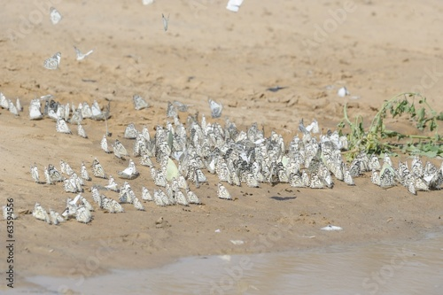 Butterflies gather at a pool of water, Kalahari Desert