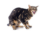 meowing bengal cat