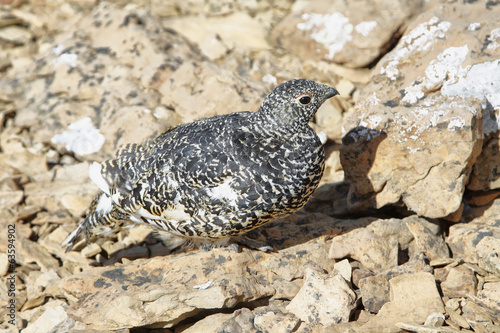Juvenile Ptarmigan between rocks