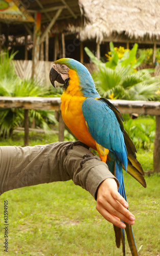 Blue and yellow macaw parrot sitting on hand
