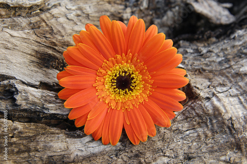 gerbera and rustic wood texture