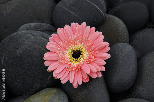 Beautiful Orange gerbera flower on pebbles