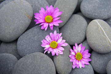 three daisy gerbera flower on pebbles texture