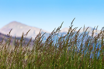 Grass Growing in Colorado Mountains