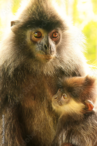 Silvered leaf monkey with a baby, Borneo, Malaysia