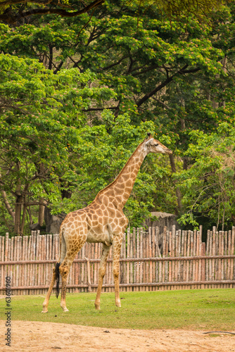 Giraffe in zoo.