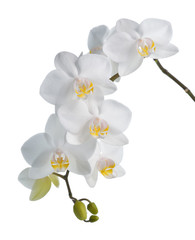 White orchid isolated on white.