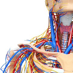 3d Anatomy of circulatory system and nervous system