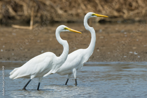 Two Great White Egrets in profile