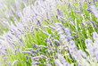 Lavender flowers blooming in the meadow