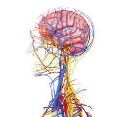 3d circulatory system and nervous system with brain