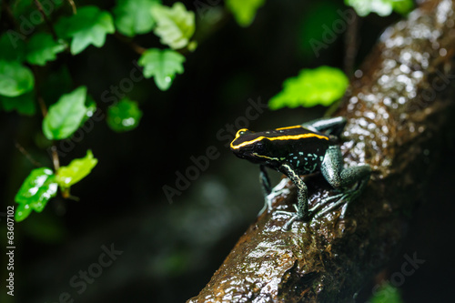 Poison Dart Frog (Dendrobatidae) on a Branch, Tropical Animal