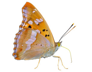 Butterfly (Apatura substituta) 15
