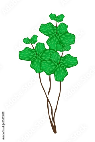 Fresh Peppermint Plant on A White Background