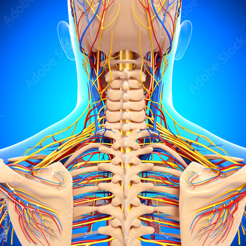 circulatory system and nervous system reviewer A free website study guide review that uses interactive animations to help you learn online about anatomy and physiology, human anatomy, and the human body systems.