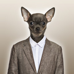 Chihuahua wearing a suit, beige background