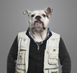 English bulldog wearing work clothes, grey background