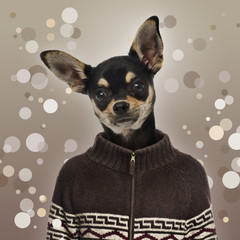 Chihuahua wearing a sweater, spotted background