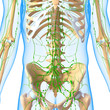 ������, ������: 3d Anatomy of lymphatic system