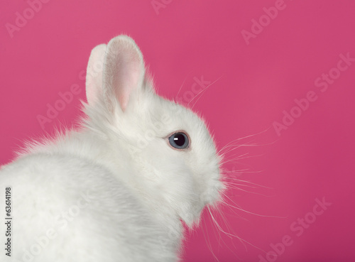 Rabbit on pink background