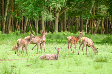 red deer grazing in woodland - focus only on nearest deer