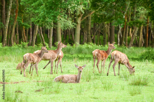 red deer grazing in woodland - focus only on nearest deer