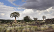 Quiver trees agains the cloudy sky in african semi desert